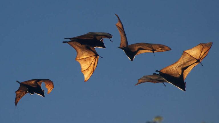 Fruktfladdermöss som flyger