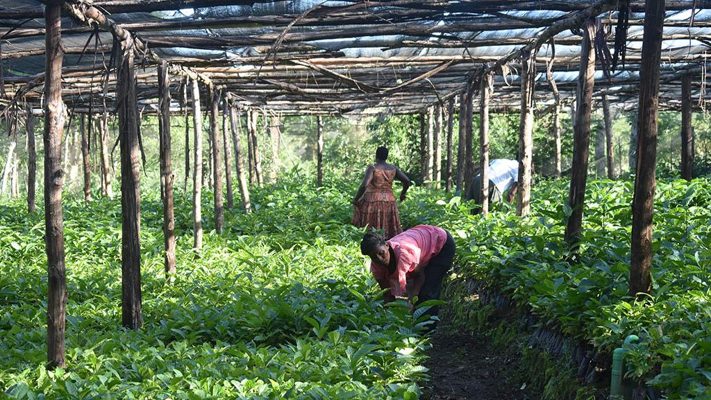 Plantskola för kaffeträd