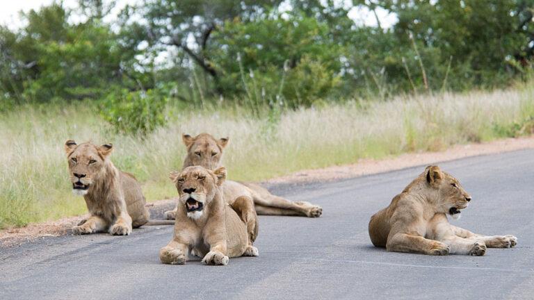 Lejon på en väg i Sydafrika
