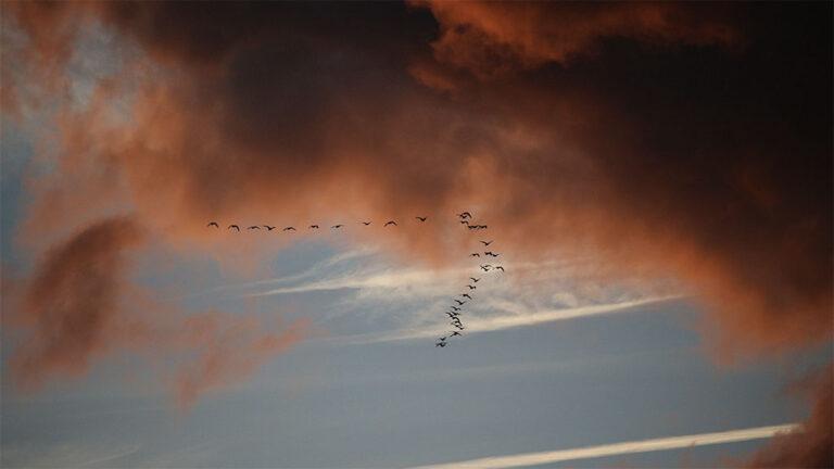 Fåglar som migrerar